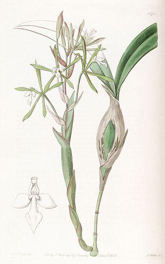 Coilostylis clavata - Image: Epidendrum purpurascens (as syn. Ep. clavatum) Edwards' vol. 22 pl. 1870 (1836)