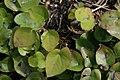 Epimedium x versicolor Sulphureum 3zz.jpg