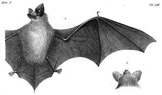 Meridional serotine - Image: Eptesicus isabellinus sketch