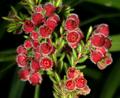 Erica haematocodon 1DS-II 3-5186.png