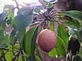 Ericales - Manilkara zapota - 3.jpg