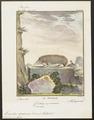 Ericulus spinosus - 1700-1880 - Print - Iconographia Zoologica - Special Collections University of Amsterdam - UBA01 IZ20900041.tif