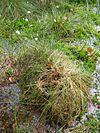 Eriophorum vaginatum horst.jpeg