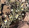 Eriophyllum lanosum 1.jpg