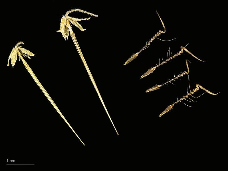 File:Erodium moschatum MHNT.BOT.2007.40.20.jpg