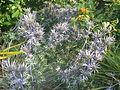Eryngium bourgatii (9344352088).jpg
