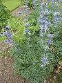 Eryngium bourgatii (Umbelliferae) plant 2.JPG