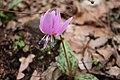 Erythronium dens-canis, Bulgaria.jpg