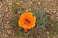 Eschscholzia californica 7983.JPG