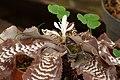 Estrella de tierra (Cryptanthus zonatus) - Flickr - Alejandro Bayer.jpg