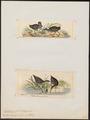 Eulabeornis brachypus - 1700-1880 - Print - Iconographia Zoologica - Special Collections University of Amsterdam - UBA01 IZ17500145.tif