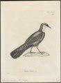 Eupetes caerulescens - 1700-1880 - Print - Iconographia Zoologica - Special Collections University of Amsterdam - UBA01 IZ16300403.tif