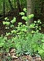 Euphorbia amygdaloides kz05.jpg