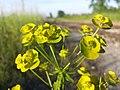 Euphorbia esula (s. str.) sl7.jpg