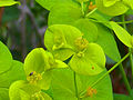 Euphorbia paniculata Enfoque 2011-4-21 SierraMadrona.jpg