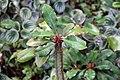 Euphorbia viguieri 6zz.jpg