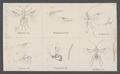 Euphorus - Print - Iconographia Zoologica - Special Collections University of Amsterdam - UBAINV0274 046 07 0005.tif