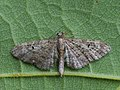 Eupithecia sp. (41393895071).jpg