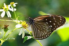 异型紫斑蝶