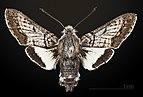 Euproserpinus phaeton MHT CUT 2010 0 11 Bautista Canyon Hemet California dorsal.jpg