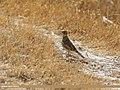 Eurasian Skylark (Alauda arvensis) (43172673974).jpg