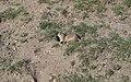 Europäischer Ziesel (Spermophilus citellus) Schloss Orth Nationalparkzentrum 1.jpg