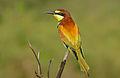 European Bee-eater (Merops apiaster) (16694256861).jpg