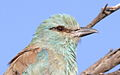 European roller, Coracias garrulus at Borakalalo National Park, Northwest Province, South Africa (16204245685).jpg