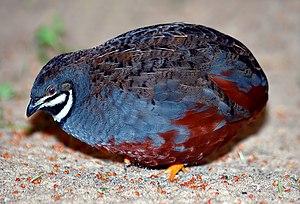 Excalfactoria - King quail, E. chinensis