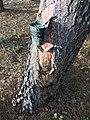 Explotación de resina en el pinar de Peñausende 5.jpg