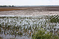 FEMA - 36365 - Flooded corn field in Illinois.jpg