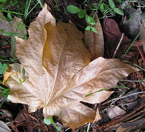 A curled, fallen leaf on roadside in Scotts Va...