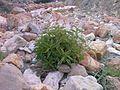 Fasham- Lar road, Gazaneh Plant, Abnik دشت لار- گیاه گزنه - panoramio.jpg