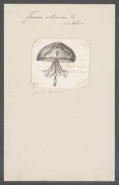 File:Favonia octonema - - Print - Iconographia Zoologica - Special Collections University of Amsterdam - UBAINV0274 110 11 0008.tif