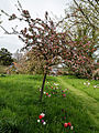 Feeringbury Manor flowering prunus, Feering Essex England 04.jpg