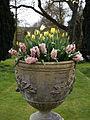 Feeringbury Manor urn planted tulips, Feering Essex England 1.jpg