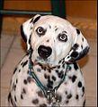 Female dalmatian.jpg