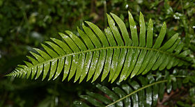 (ng: Fern frond)