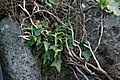 Fern and ivy calgorm castle.jpg