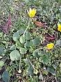 Ficaria calthifolia sl12.jpg
