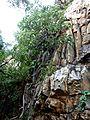 Ficus abutilifolia, habitus, Roodekrans.jpg