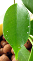 Ficus benjamina secreting minerals through leaf glands.png