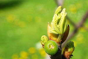 Bud - Terminal, vegetative bud of Ficus carica