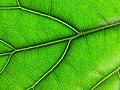 Ficus lyrata leaf.jpg