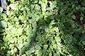 Ficus pumila 25zz.jpg