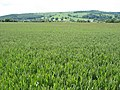Field of barley, near Kersoe - geograph.org.uk - 851572.jpg