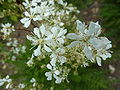 Filipendula vulgaris 'Dropwort' (Rosaceae) flowers.JPG