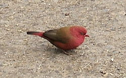 Firefinch in Ethiopia.jpg