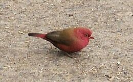 Firefinch in Ethiopia
