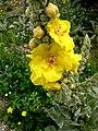 Firkas - Blume 2.jpg